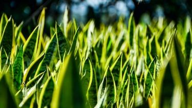 Sanseveria Trifasciata (Green/Yellow)