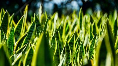 Sanseveria Trifasciata Laurentii (Green/Yellow)