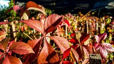 Parthenocissus Quinquefolia (Virginia Creeper)
