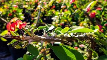Euphorbia Milli (Christ Thorn)