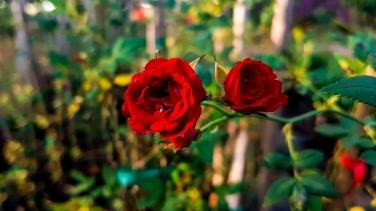 Rose Rambling Red