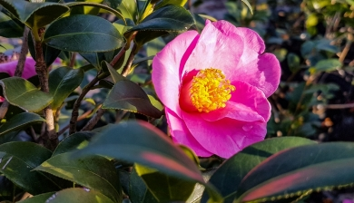 Camellia Sasanque