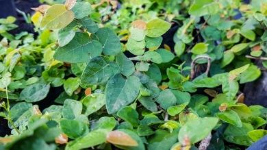Ficus pumila (Tickey Creeper)