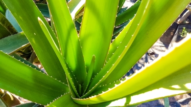 Aloe Bainesii (Tree Aloe)