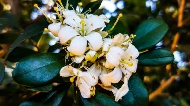 Murraya Exotica (Orange Jasmine)
