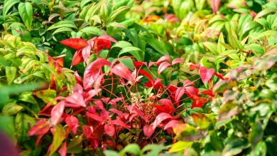 Nandina Pigmaea (Dwarf Heavenly Bamboo)