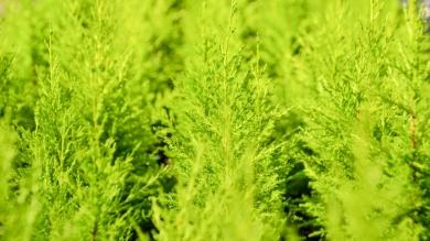 Cupressus macrocarpa (Gold Crest)