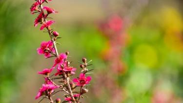 Leptospermum (Cherry Brandy)