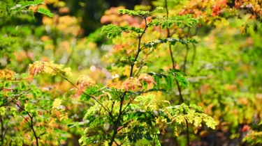 Caesalpinia ferrea (Leopard Tree)