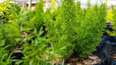 Asparagus Meyerii (Cat's Tail)