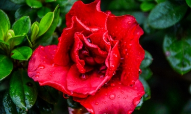 Azalea (Double Red)