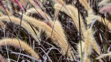 Pennisetum setaceum 'Atropurpurea'