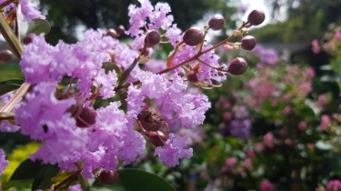 Lagerstroemia (Pride Of India)