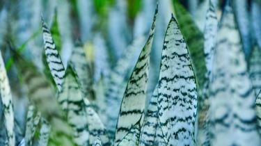 Sansevieria Trifasciata (Green/Grey)