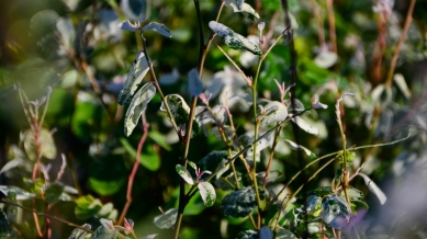Breynia disticha (White Icecream Bush)