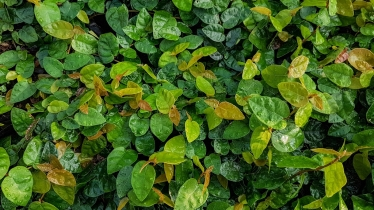 Ficus pumila (Ticky Creeper)