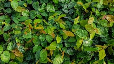 Ficus pumila (Ticky Creeper)
