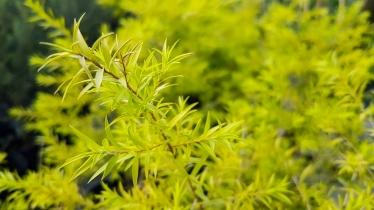 Melaleuca bracteata (Johannesburg Gold)