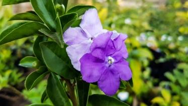 Brunsfelsia Floribunda (Yesterday Today Tomorrow)