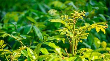 Trichellia (Natal Mahoganny)