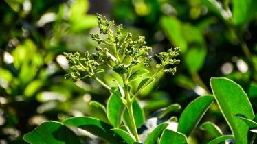 Viburnum sinensis