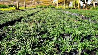 Ophiopohan Japonicus Kyoto (Mondo Grass)