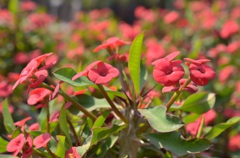 Euphorbia milli compacta Red