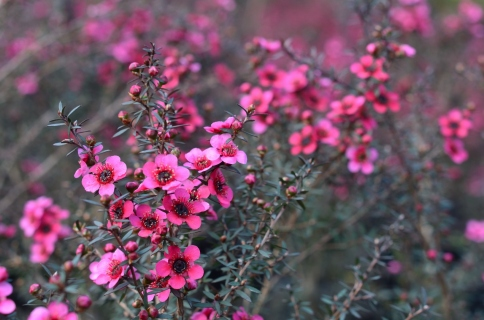 "Leptospermum scoparium ""Cherry Brandy"