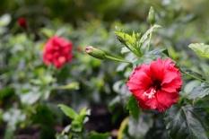 Hibiscus sinensis 'Rosa'