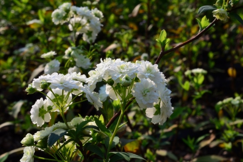 spiraea cantonensis flora plenna