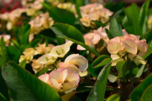 "Euphorbia milli ""Popcorn"""